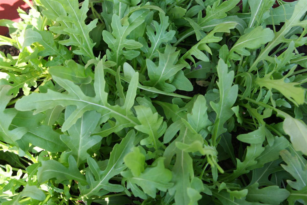 Arugula (bunch)