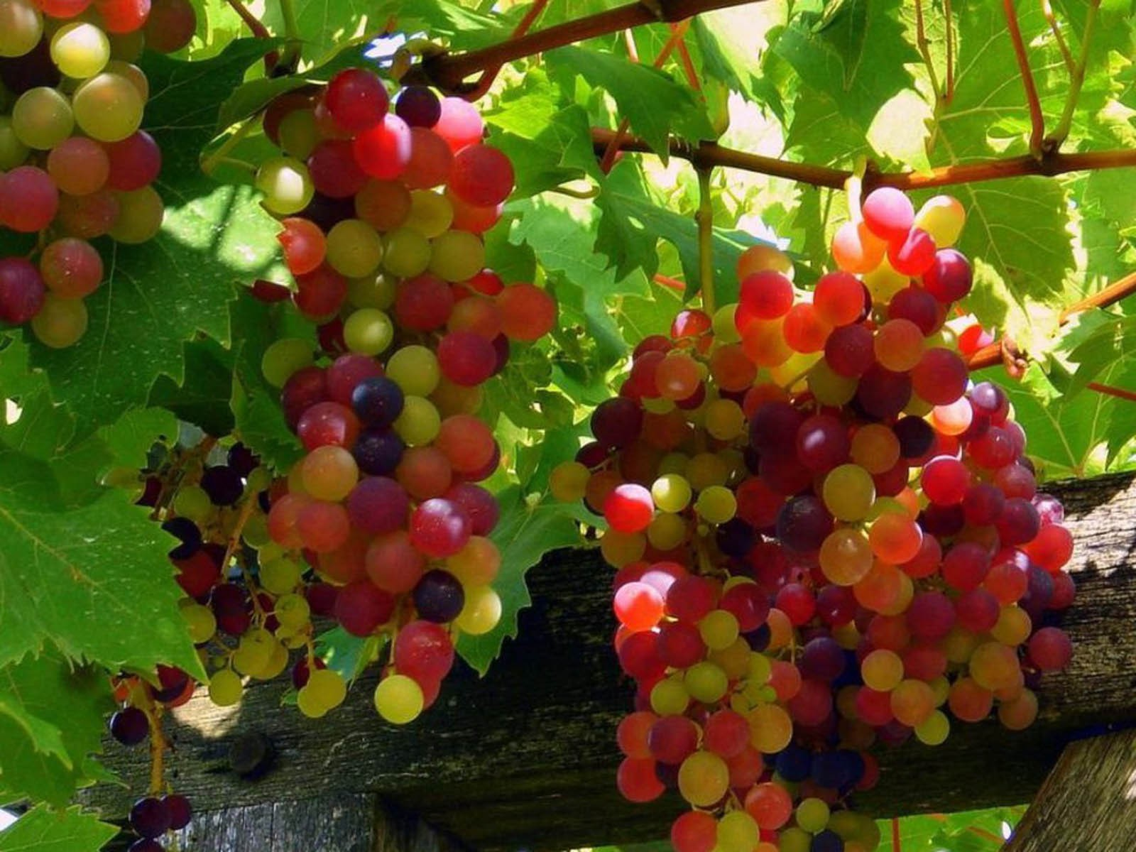 Grapes - Red (seasonal) (bunch)