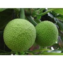 Breadfruit (each)