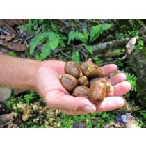 Breadnuts (lb)