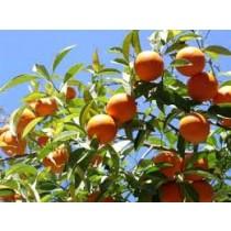 Grapefruit (each)