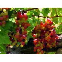 Grapes - Red (seasonal) (bunch)