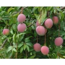 Mangos (each)