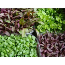 Micro Herbs and Micro Greens (punnet)