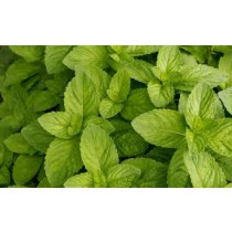 Mint - Spearmint (bunch)