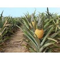 Pineapples (each)