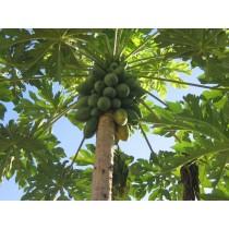 Papaya (each)